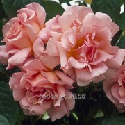 Роза плетистая Compassion (саженец с ЗКС) фото