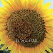 Семена подсолнечника ЛГ 5377 (LG 53.77) фото