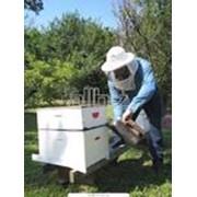 Индивидуальная селекция пчел с проверкой по потомству фото