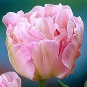 Тюльпан Анжелика фото