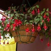 Фуксия (Fuchsia) фото