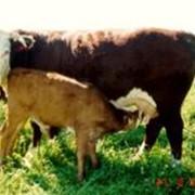 Изучение технологии мясного скотоводства фото