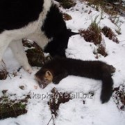 Охота на Соболя с лайками фото