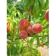 Персики по хорошей цене в Молдове фото
