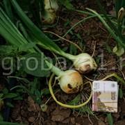 Ранний лук оптом с фермерского хозяйства (Волгоград) фото