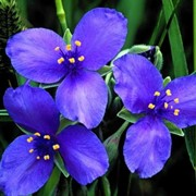 Цветы многолетние фото