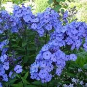 Флокс Метельчатый Phlox paniculata Blue Boy рост 30 – 40 фото