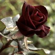 Розы кустарниковые, Роза Блэк Баккара фото