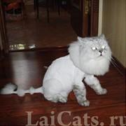 Оригинальные стрижки котов фото
