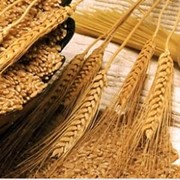 Переработка зерна в Жесказгане фото
