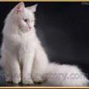 Кошки, мейн-куны – американская енотовая кошка фото