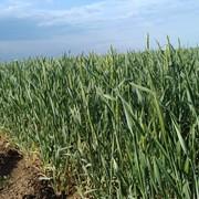 Пшеница 3-го класса в Казахстане фото
