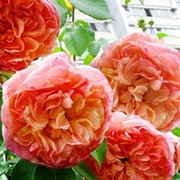 Роза плетистая Папи Дельбар фото