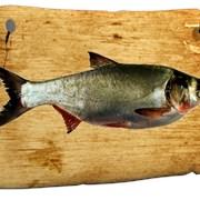 Живая рыба Толстолобик фото