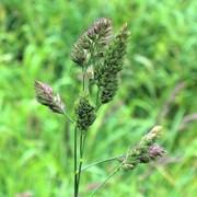 Ежа сборная (Dactylis glomerata) фото