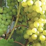 Виноград Мускат фото