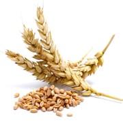 Пшеница озимая фото