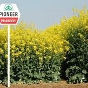 Семена рапса ПР45Д01/PR45D01 MAXIMUS от компании ПИОНЕР фото