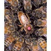 Пчёломатка фото