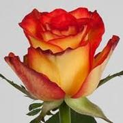 Сажанцы роз. Около 50 сортов роз. фото