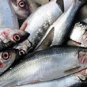 Сельдь рыба фото