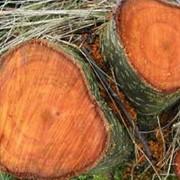 Лесозаготовка ольха фото