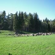 Земельные участки от 14 га до 66 га, у дер. Горки Ломоносовского р-на, в окружении леса рядом с гольф клубом, 40 км от КАД. фото
