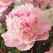Пион травянистый Эденс Парфюм (Eden's Perfume), 10л. горшок. фото