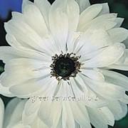 Анемона St. Brigid White 8/+ фото