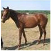 Лошадь английская чистокровная верховая Алголь фото