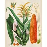 Кукурузные рыльца. Лекарственные травы. фото