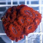 Живой коралл фото