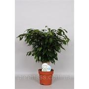 Фикус Бенджамина Даниэль -- Ficus benjamina Danielle фото