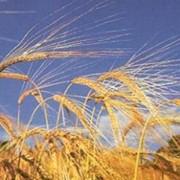 Выращивание зерновых, технических культур фото