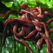 Калифорнийский червь опарыш фото