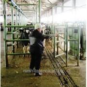 Лечение гипофункции яичников коров фото