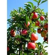 Саженцы яблонь от производителя продажа, опт фото