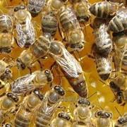 Плодные пчелиные матки фото