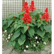 Cемена Сальвии блестящая красная Карабинер фото