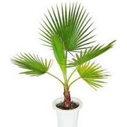 Семена комнатного растения Вашингтония Робуста (комн.) фото