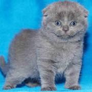 Кошки однотонные голубые фото