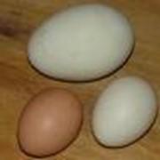 Яйца домашней и дикой птицы фото