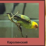 Попугай Каролинский фото