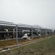 Проект мегафермы на 6000 голов дойного стада с применением доильной установки типа карусель фото