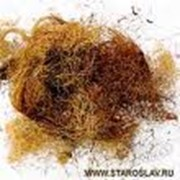 Столбики кукурузы с рыльцами фото