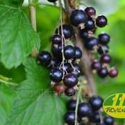 Cаженцы черной смородины сорт Титания фото