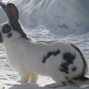 Продажа племенных кроликов-гигантов Немецкий пестрый фото