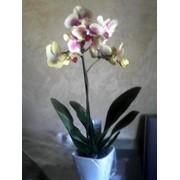 Орхидея Киев фото