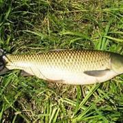 Свежая канальная рыба: белый амур (1,5-2 кг) фото