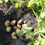 Картофель семенной Артемис 2РС фото